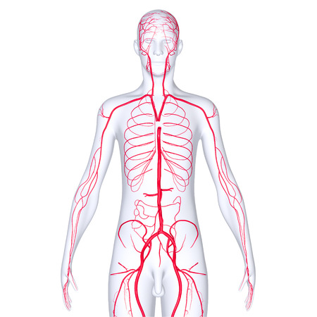 blood flow: Arteries