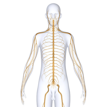 sacral nerves: Body with Nerves Stock Photo