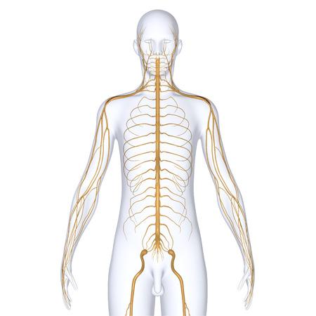 medula espinal: Cuerpo con nervios