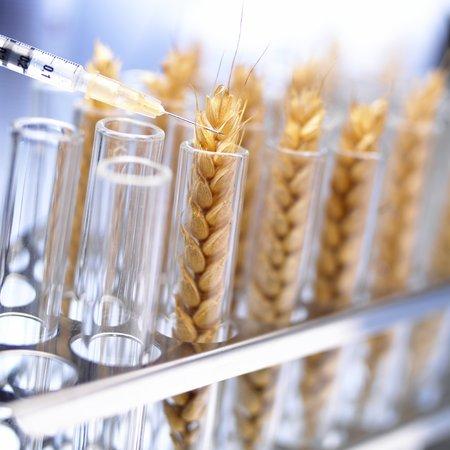 genetically: Genetically modified wheat