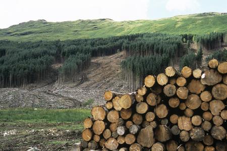 deforested: Deforested conifer plantation