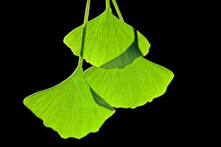 dioecious: Ginkgo leaves, computer artwork