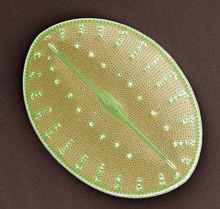 Diatom, SEM LANG_EVOIMAGES