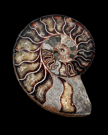 sectioned: Ammonite