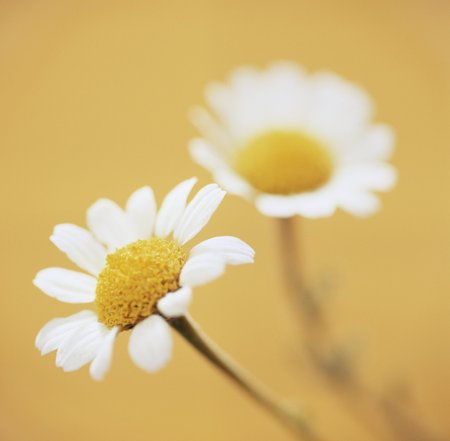 Camomile flowers LANG_EVOIMAGES