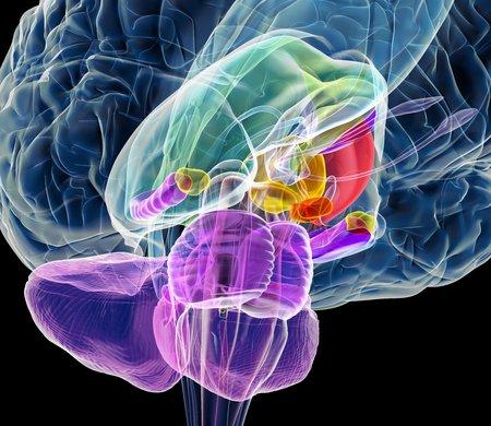cns: Brain anatomy,artwork