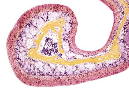 nasal: Nasal lining,light micrograph