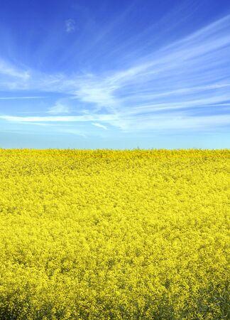 oilseed: Oilseed rape crop