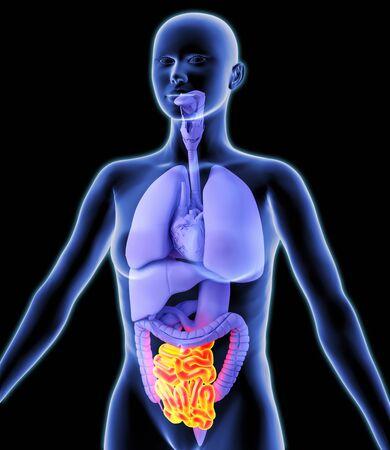 alimentary canal: Small intestine, artwork