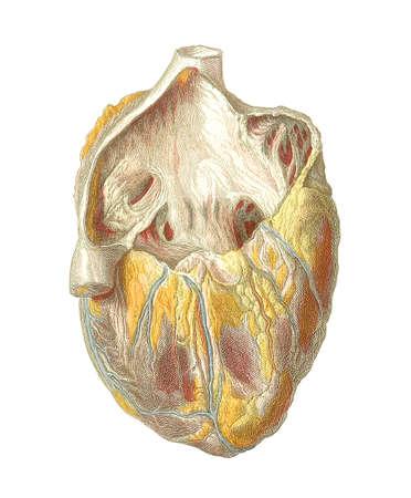 cutouts: Heart anatomy,artwork