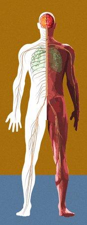 cns: Human anatomy,artwork LANG_EVOIMAGES