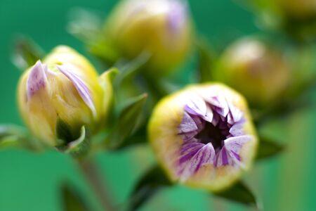 Dahlia buds