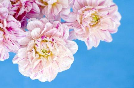 horticultural: Dahlia flowers LANG_EVOIMAGES
