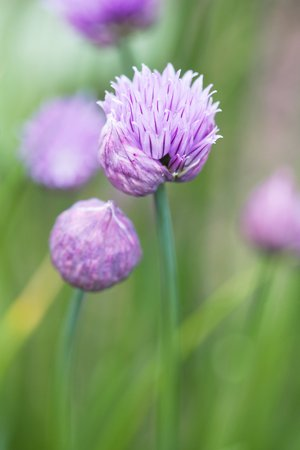 Chinese chives (Allium Tuberosum) LANG_EVOIMAGES