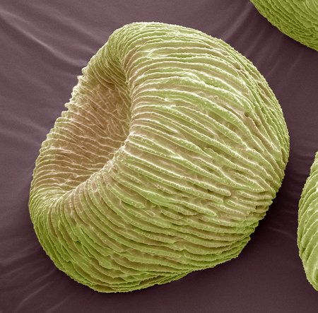 gamete: Angels trumpets pollen,SEM