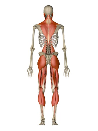 striated: Computer artwork showing the main muscles controlling human posture,back view.These are skeletal,or voluntary,muscles,which are under direct conscious control.When contracted or relaxed they pull on tendons,which are attached to the bones,causing movement LANG_EVOIMAGES