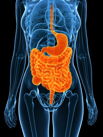 alimentary canal: Healthy digestive system,computer artwork LANG_EVOIMAGES