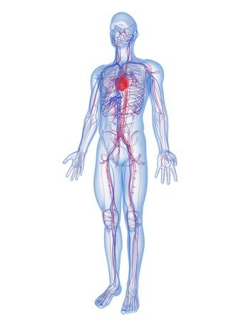 circulatory: Cardiovascular system,computer artwork