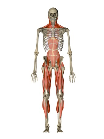 striated: Computer artwork showing the main muscles controlling human posture,front view.These are skeletal,or voluntary,muscles,which are under direct conscious control.When contracted or relaxed they pull on tendons,which are attached to the bones,causing movemen LANG_EVOIMAGES