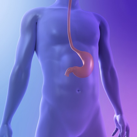 alimentary canal: Healthy stomach,computer artwork LANG_EVOIMAGES