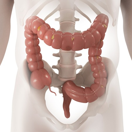 alimentary canal: Healthy large intestine,computer artwork