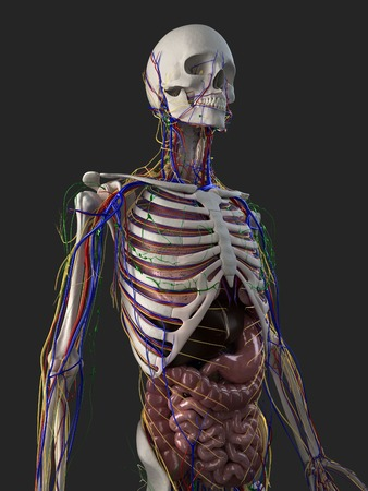 alimentary canal: Human anatomy,computer artwork LANG_EVOIMAGES