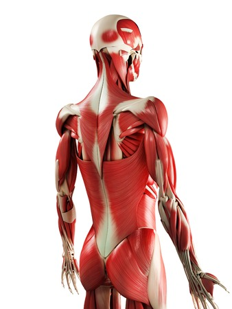 striated: Male muscles,computer artwork LANG_EVOIMAGES
