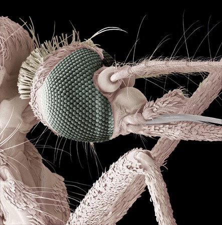 centimetres: Mosquito head,coloured scanning electron micrograph (SEM).Magnification: x700 when printed at 10 centimetres wide