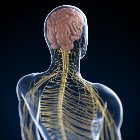 cns: Human nervous system,computer artwork LANG_EVOIMAGES