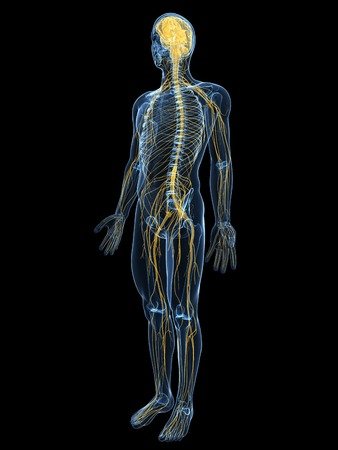 Human Nervous System,computer Artwork Stock Photo, Picture And ...