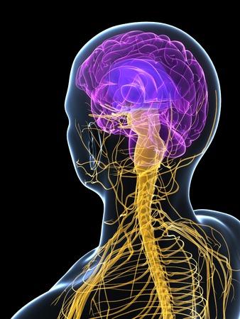 Human nervous system,computer artwork LANG_EVOIMAGES