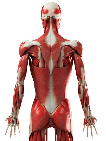 Male muscles,computer artwork LANG_EVOIMAGES