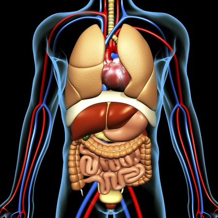 bronchioles: Computer artwork of the human anatomy seen from front.depicted are: Digestive system: Liver,falciform ligament,gallbladder,stomach,pancreas,appendix,intestine,colon,rectum.Cardiovascular Circulatory System: Heart,veins & arteries.Respiratory System: Lungs LANG_EVOIMAGES