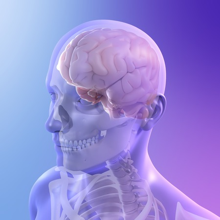 cns: Head anatomy,computer artwork LANG_EVOIMAGES
