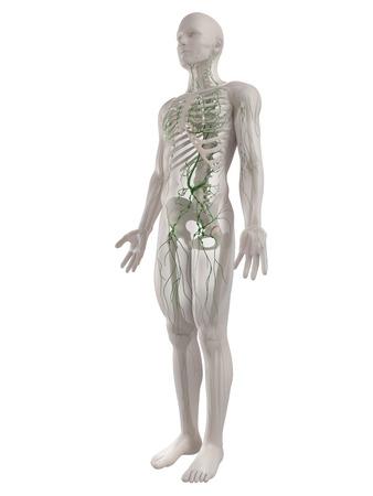 Lymphatic system,computer artwork