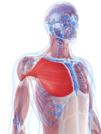 Pectoralis major muscle,artwork