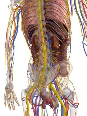 Male anatomy,computer artwork