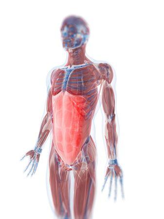 rectus: Rectus abdominis muscle,computer artwork