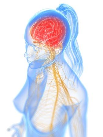 sistema nervioso central: sistema nervioso, ilustraciones del ordenador LANG_EVOIMAGES