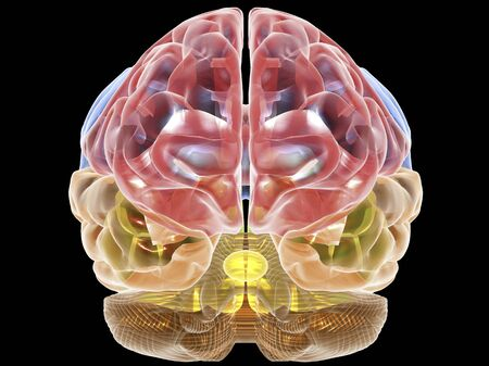 Human brain anatomy,artwork