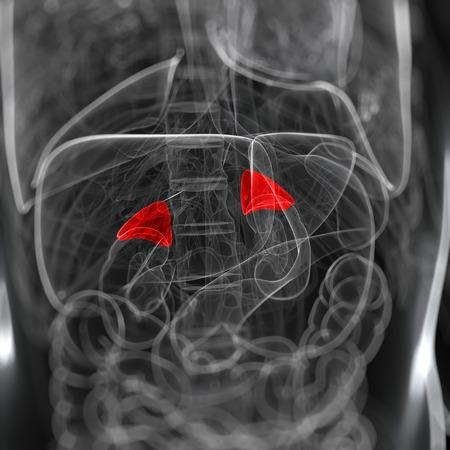 suprarrenales: Glándulas suprarrenales, ilustraciones de computadora