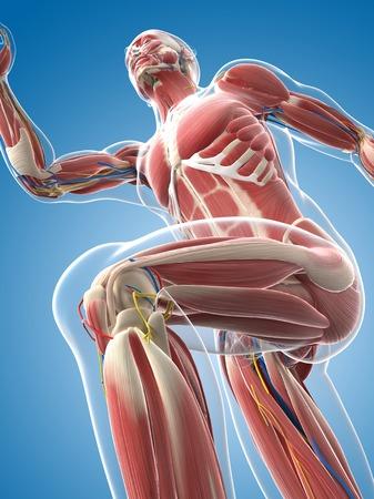 musculature: Male musculature,artwork