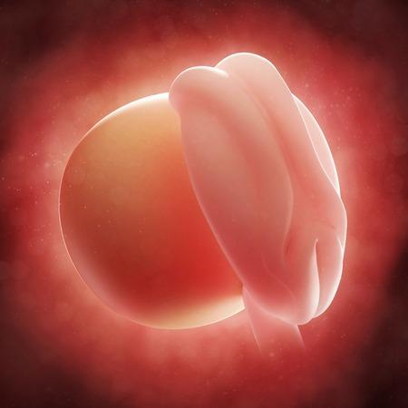 Embryo at 4 weeks,artwork LANG_EVOIMAGES