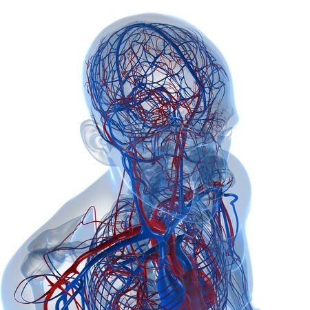 Cardiovascular system,computer artwork