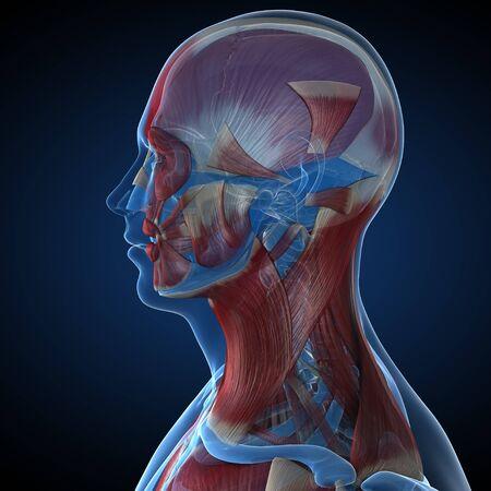 musculature: Male musculature,computer artwork