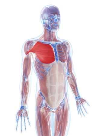 pectoralis: Pectoralis major muscle,artwork