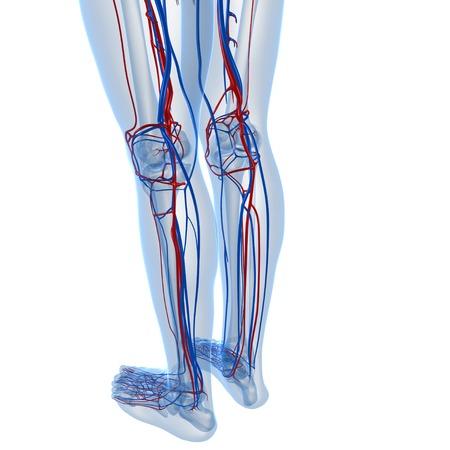 Vascular system,computer artwork LANG_EVOIMAGES