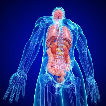 rectum: Male anatomy,artwork