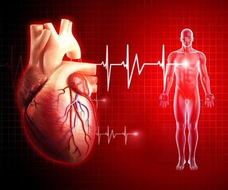 circulatory: Human heart,artwork