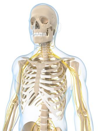 skeletal system: Nervous system,artwork LANG_EVOIMAGES